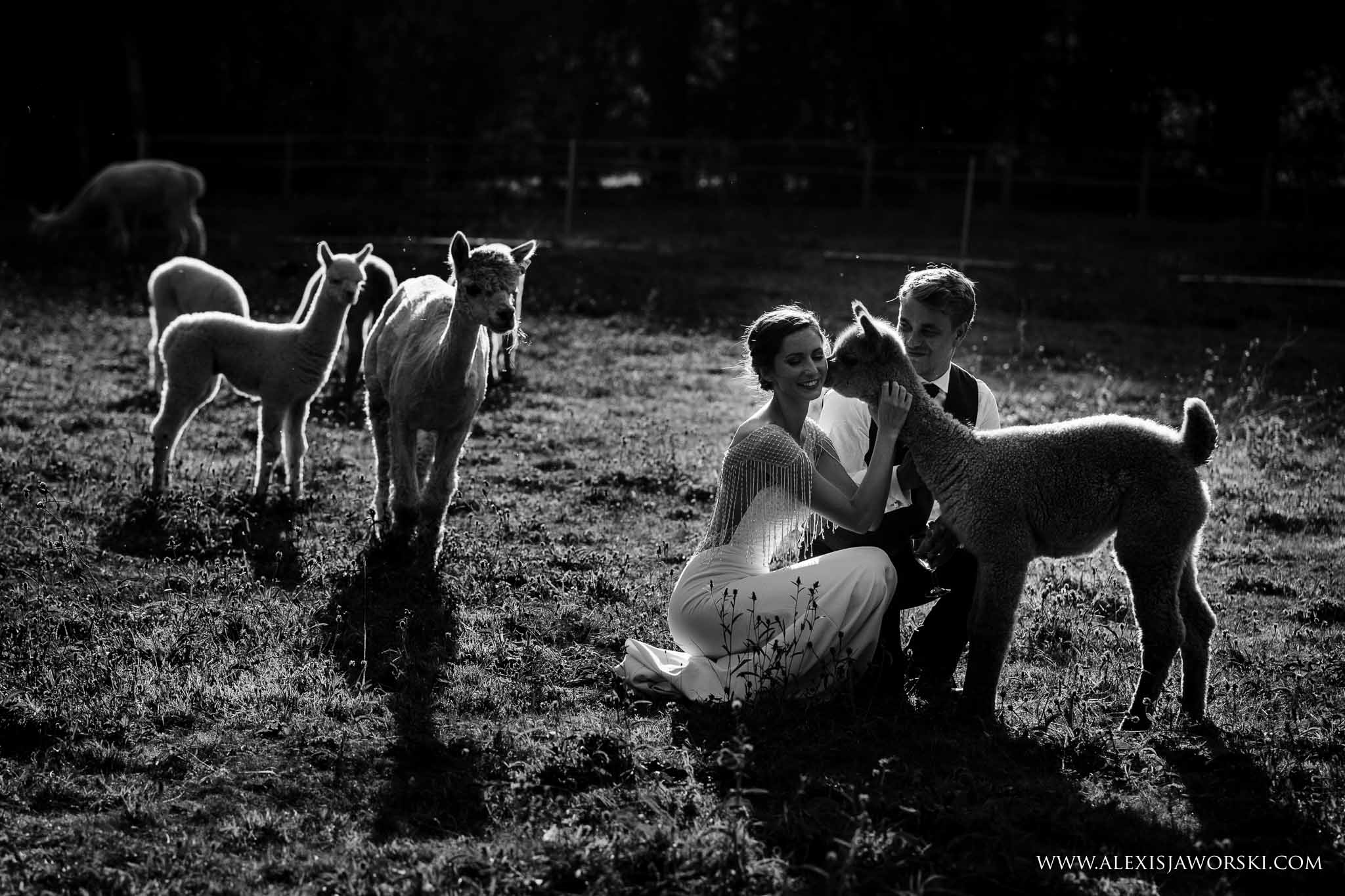 portraits with alpacas