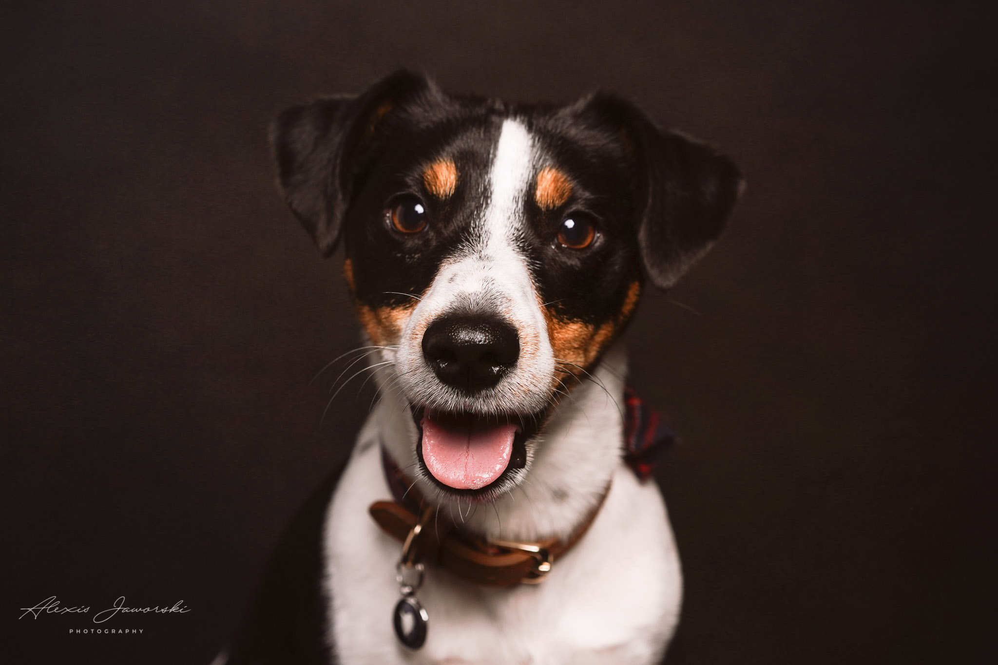 A photo of a Jack Russel Terrier